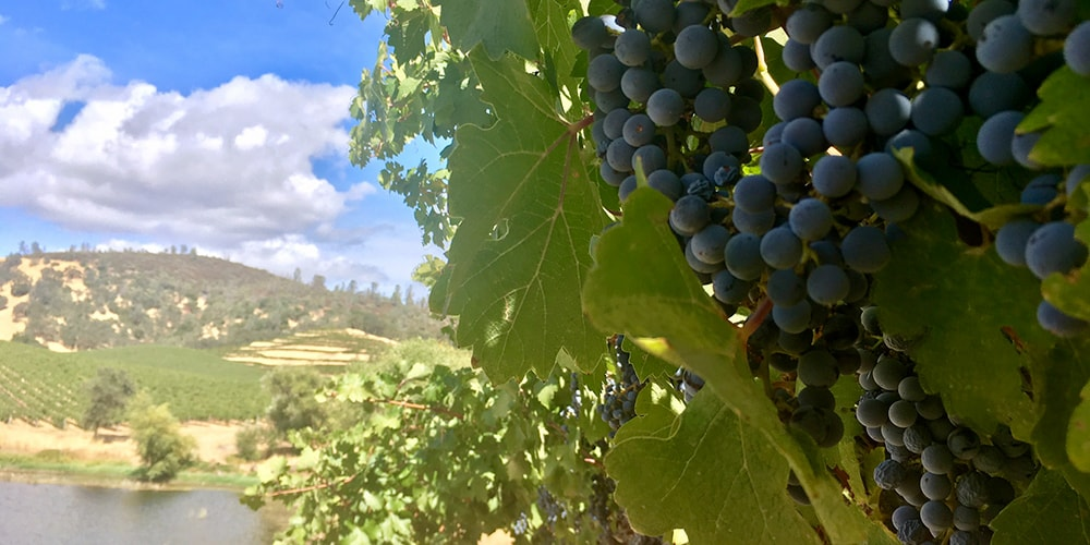 Ripe Cabernet Sauvignon clusters on vine awaiting the 2017 St. Supéry Harvest