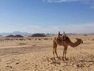 Kameel in de woestijn van Jordanië