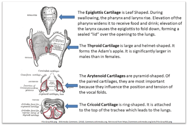 Parts of Larynx