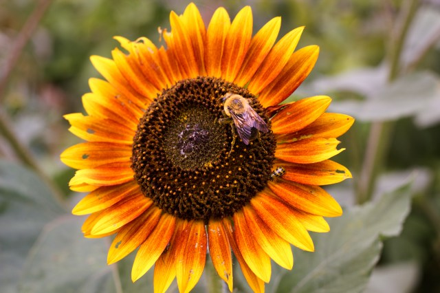 classic sunflower with bee