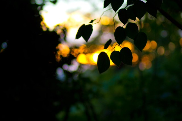 sunsetty leaves