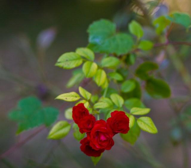 rose muffled