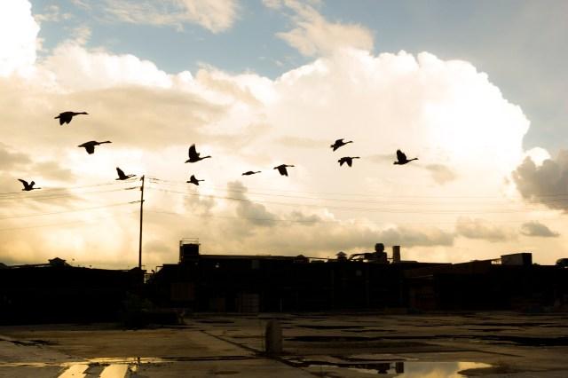 flock of birds by a golden cloud