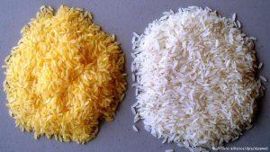 """Arroz dourado, geneticamente projetado, e o arroz """"comum""""."""