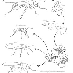 Diagram Of An Ant Life Cycle Worksheet Sps Audiovox Wiring Handouts Deviche Designs