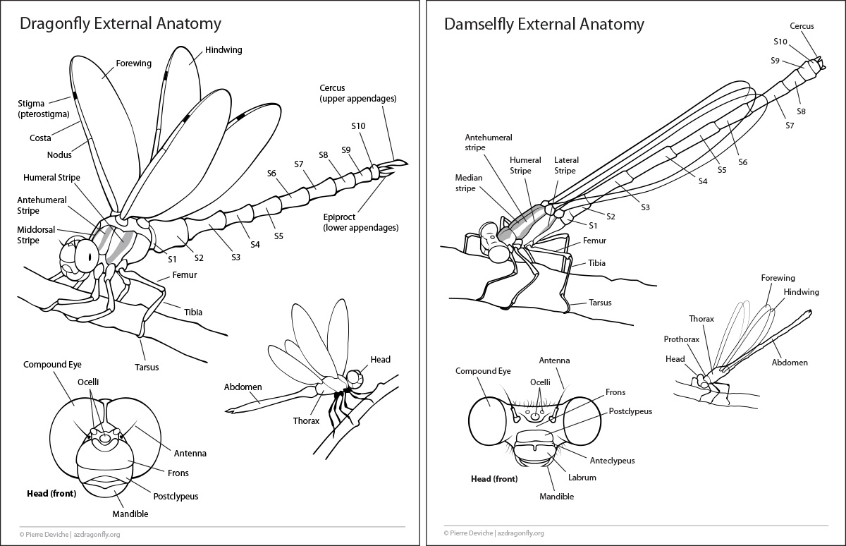 Odonate Anatomy