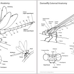 Dragonflies Eye Diagram Nissan 2 5 Engine Dragonfly Anatomy Thorax Pictures To Pin On