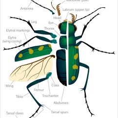 House Fly Anatomy Diagram 2000 Honda Civic Headlight Wiring Tiger Beetle Deviche Designs