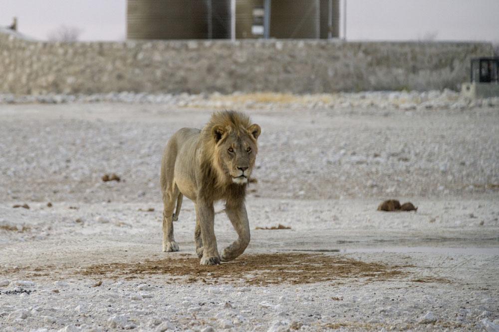 Etosha National Park Part III: The Big Cats