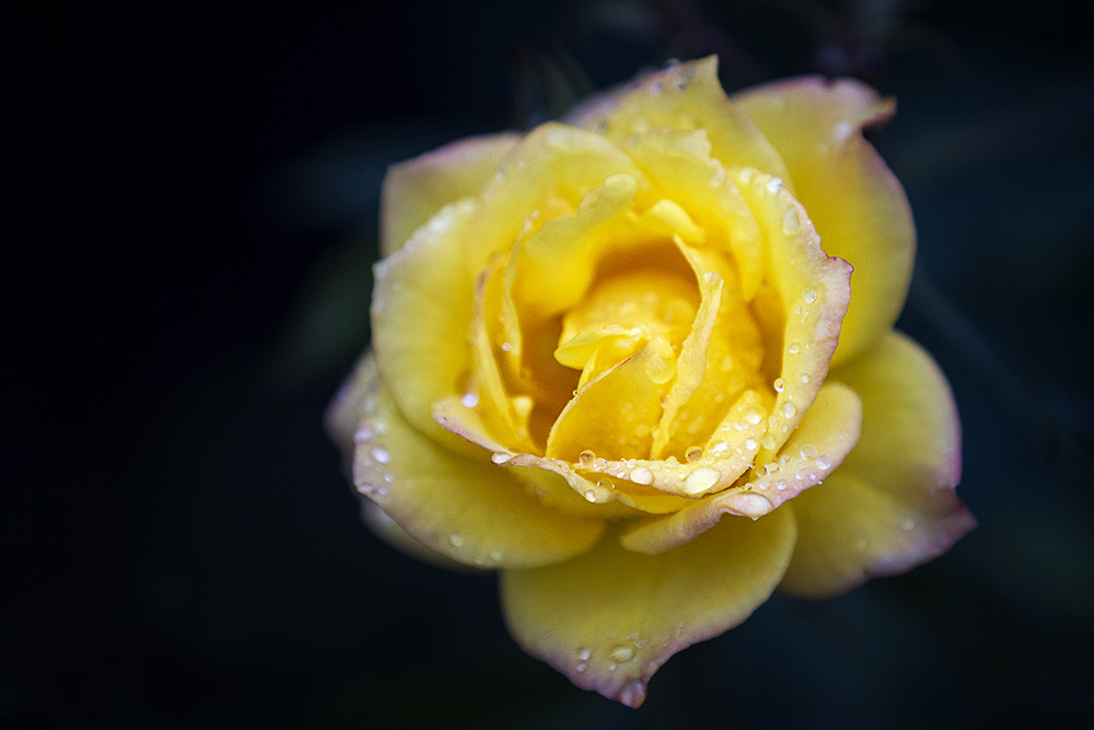 Yellow rose, Vigeland Park, Oslo