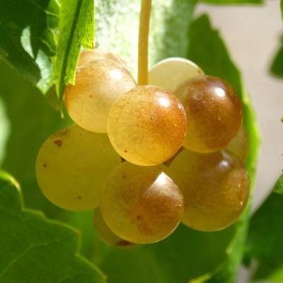 Uvas blancas maduras Ripe grapes