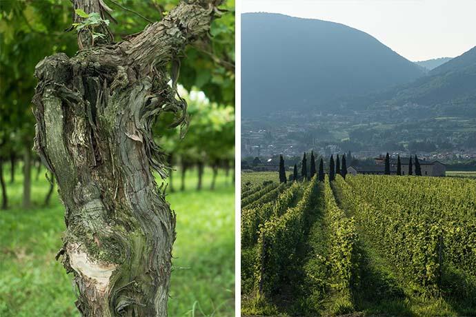 Wijngaarden van Cantina Roeno