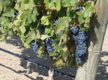CLUSTERS OF TEMPRANILLO RIPENING UNDER THE SPANISH SUN
