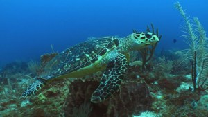 Hawksbill Turtle swimming over coral reef in St. Eustatius marine park