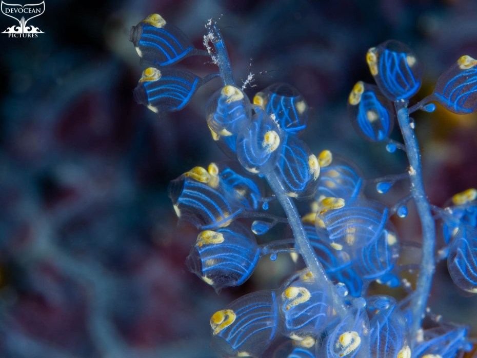 Photographing Art by nature: Underwater close-up of Namei Tunicate in blue and yellow with tiny skeleton shrimps before background with blue-purple pattern
