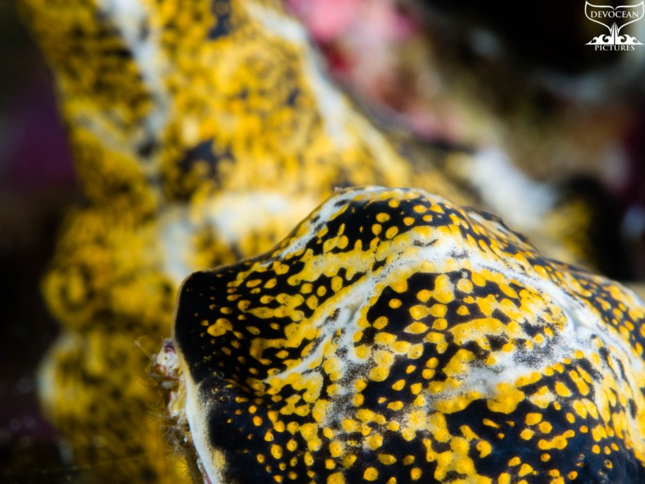 Art by nature by Devocean Pictures: Underwater close-up encrusting tunicate in white and yellow with dark brown spots