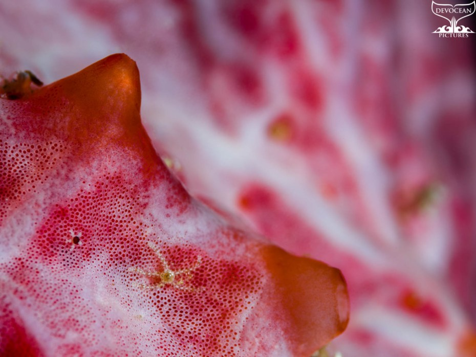 Art by nature by Devocean Pictures: Underwater close-up encrusting sponge in white, pink and red