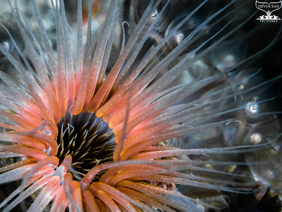 Underwater close-up for art by nature: Tubbe anemone with. The arms start in dark grey in the centre, turn a little yellow, then pink and white for the rest of the arm, against blacksh background from Lembeh (Indonesia).