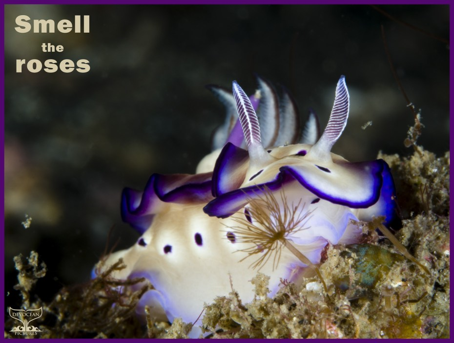 """Postcard by Devocean Pictures """"Warm regards"""": Underwater macro shot of Hypselodoris tryoni in Lembeh (Indonesia). Beautiful cream coloured nudibranch with purple rim around mantle, purple dots with whitish rim around on body and down to foot under the mantle, branched gills in white-grey and rhinophores purple, black and white. Text: Smell the roses."""