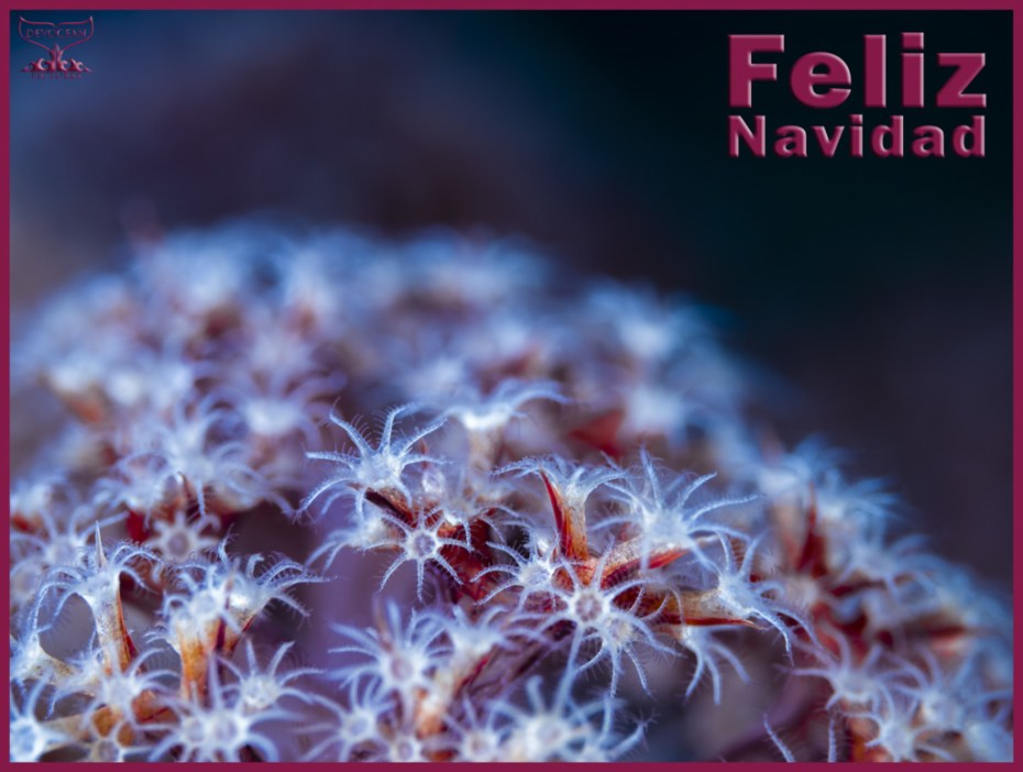 Christmas card with warm regards from Devocean Pictures: Underwater close-up of soft coral polys (family Dendronephthya) in red, purple and white with blue hue over it. Text: Feliz Navidad.