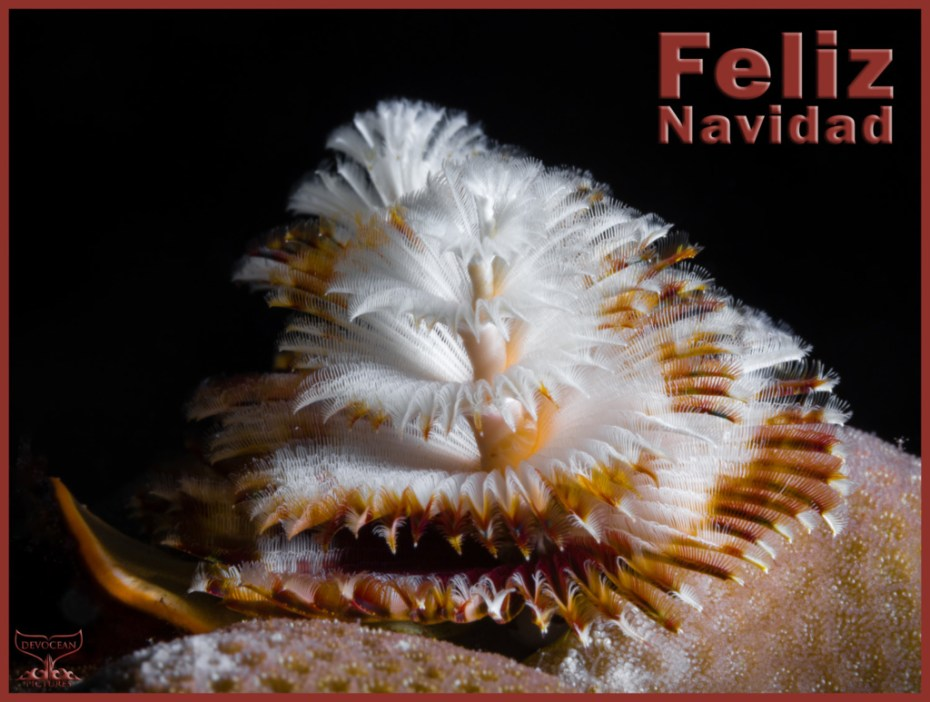 Christmas card with warm regards from Devocean Pictures: Underwater marco shot of two Christmas Tree Worms (Spirobranchus giganteus) right behind each other sticking out of a hard coral (brown and white before black background). Text: Feliz Navidad.
