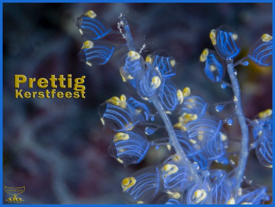 Christmas card with warm regards from Devocean Pictures: Underwater macro shot of Namei Tunicate (Blue Bell Sea Squirt / Perophora namei) in blue and yellow with tiny skeleton shrimps before background with blue-purple pattern. Text: Prettig Kerstfeest.
