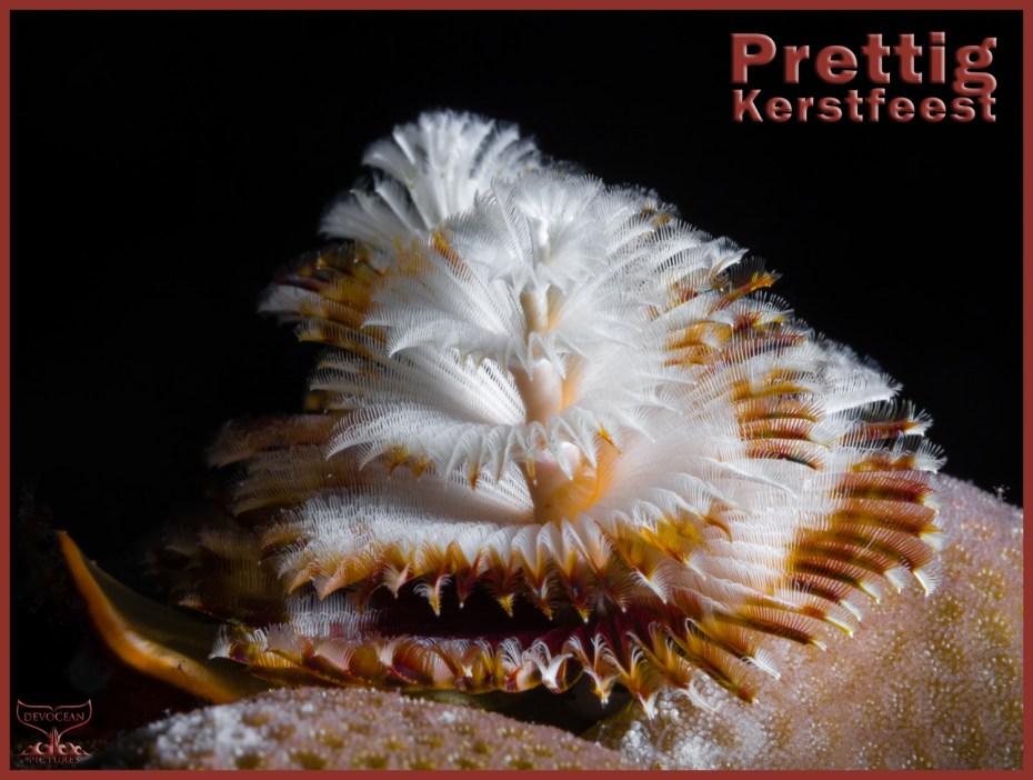 Christmas card with warm regards from Devocean Pictures: Underwater marco shot of two Christmas Tree Worms (Spirobranchus giganteus) right behind each other sticking out of a hard coral (brown and white before black background). Text: Prettig Kerstfeest.