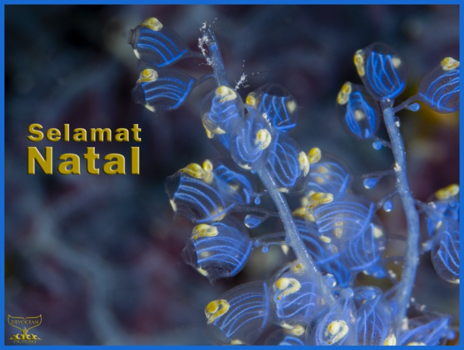 Christmas card with warm regards from Devocean Pictures: Underwater macro shot of Namei Tunicate (Blue Bell Sea Squirt / Perophora namei) in blue and yellow with tiny skeleton shrimps before background with blue-purple pattern. Text: Selamat Natal.