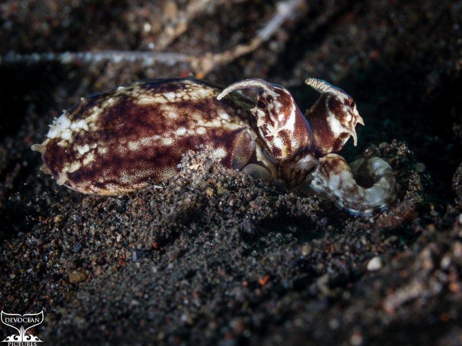 Underwater macro shot of Mimic Octopus (Thaumoctopus mimicus) in Amed (Bali, Indonesia): brown body with white to bege stripes. Only the head with the eyes sticking out high and the small horns protrude from each eyes being washed to the left by the current. The head is laying in the sand and only one arm is out of the hole in the brown sand floor.