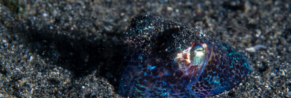 Hummingbird bobtail squid (Euprymna berryi), also known as Berry's bobtail squids is half buried in the dark sand of Lembeh, Sulawesi, Indonesia. Shiny body in blue and green metallic with black spots with yellow to golden around the visible left eye.