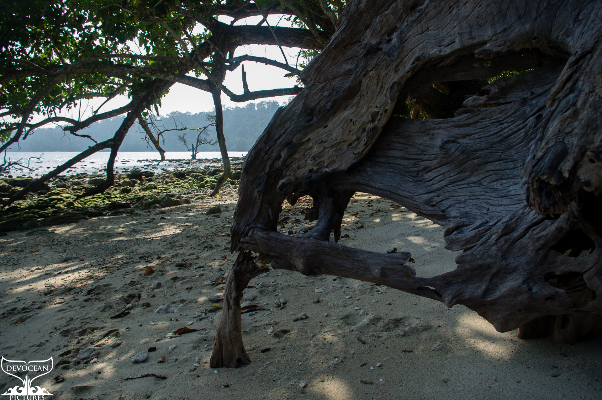 Close view on old hardwood looking like an elephant head staring at the sea. In the far distande the firest and bay of Laliji, Long Island, Andamans, India.