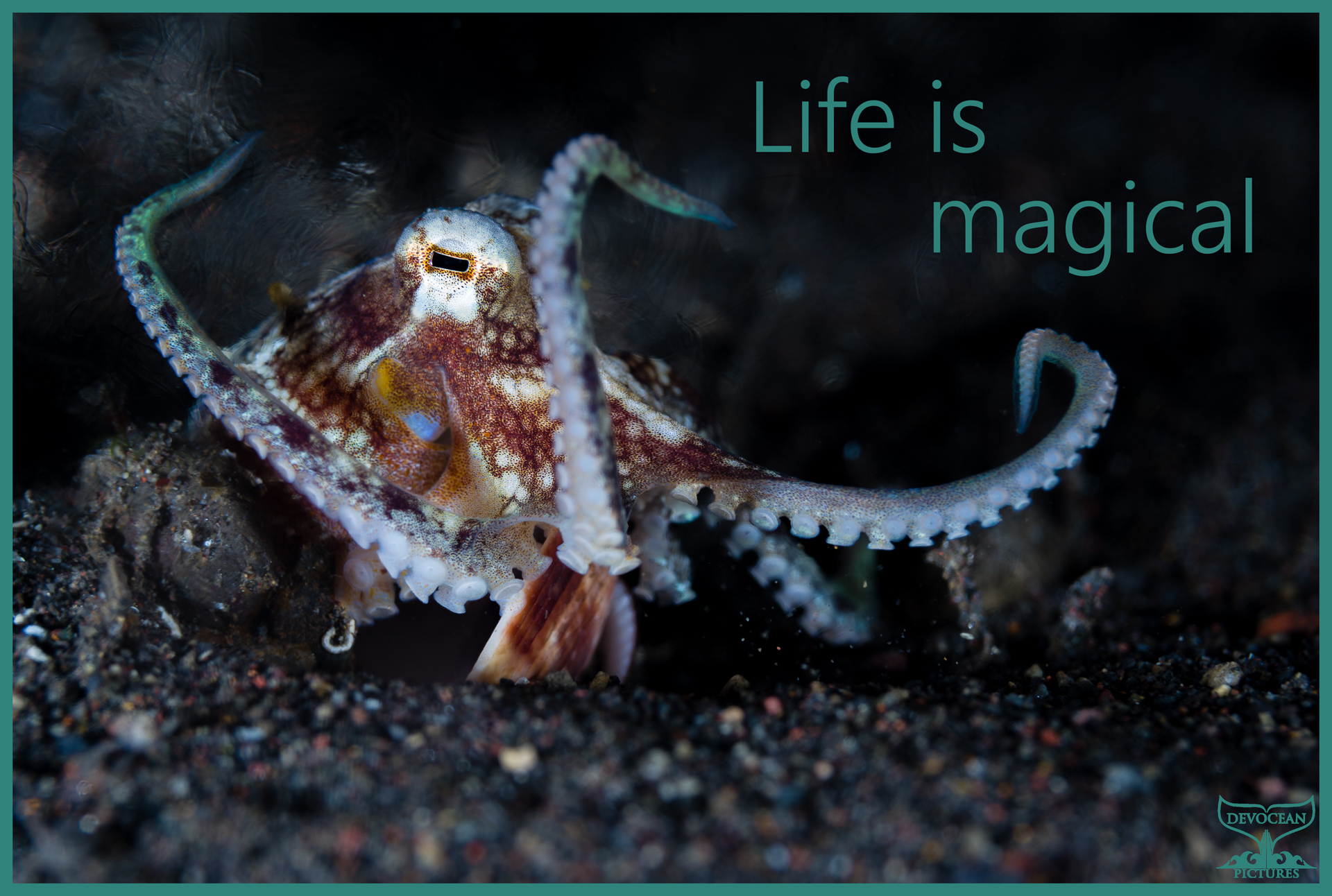 Underwater macro shot of a coconut octopus on a night dive in Amed (Bali, Indonesia) catching food with four arms while holding its two shells in place with the others. Postcard with warm regards: Life is magical.