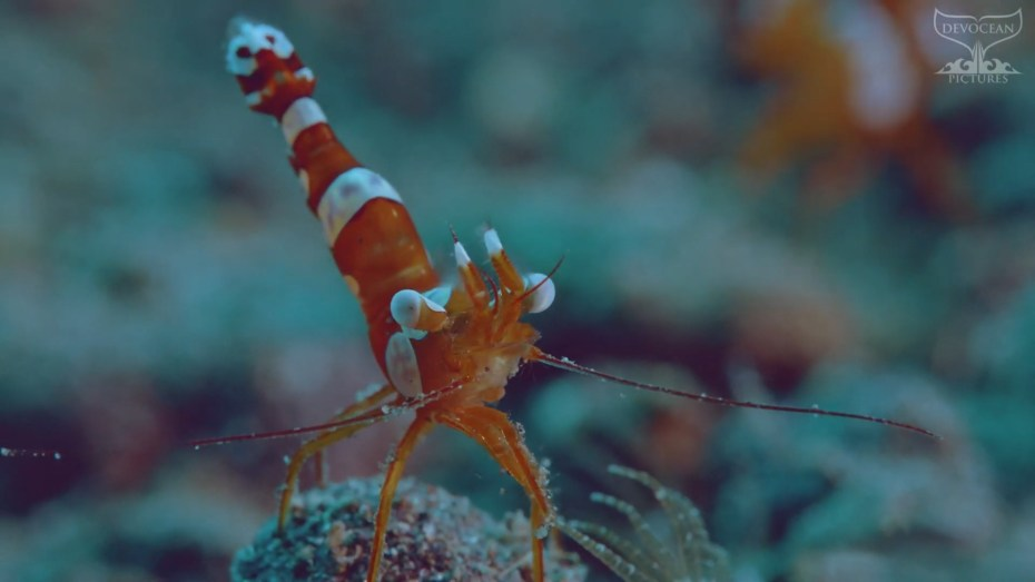"""Screenshot from video """"Take a Minute to Relax"""": Squat Shrimp (Thor amboinensis). A small oranga shrim with white markings along the body and tail as well as white eyes and white tips on the pincers sitting on a little rock and """"dancing"""". Their name sexy shrimp comes fromm the fact that their ass is up in the air moving."""