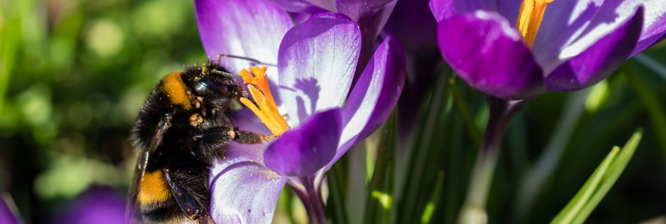 Bumblebee full of pollen sittiing in a purple crocus at the yellow pistil in a green field in March 2021, Dortmund Westfalenpark, Germany.