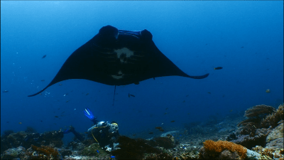 Screenshot of one of the clips Yoeri filmed with mantas 2015-2016 in Komodo (Indonesia): Diver (Nicki) is looking up from the sea ground with corals to a black manta ray with a smallishh white pattern underneath the belly.