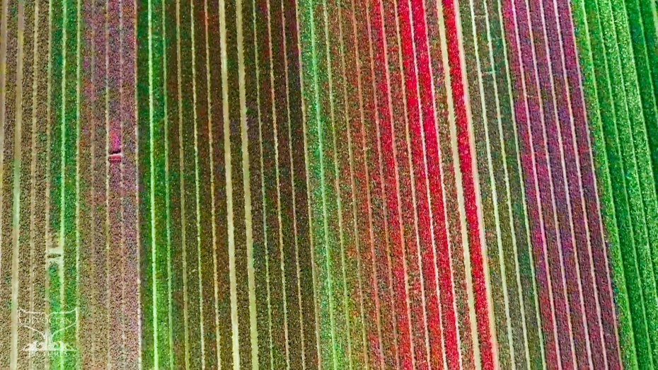 """Screenshot of """"Take a Minute to Fly"""": The flower fields of the Netherlands. Rows of colourful flowers (hyacinths) filmed with a drone in the North of Holland in spring 2021. Colours range from green of young flowers to yellow, red, pink, purple and almost black (dark red)."""