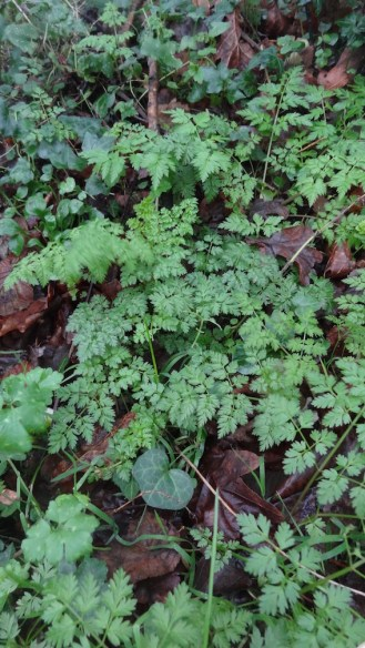 new cow parsley leaves?