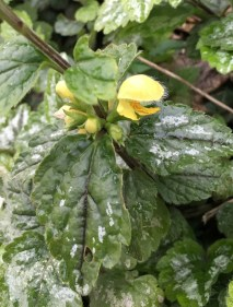 yellow archangel ssp. argentatum