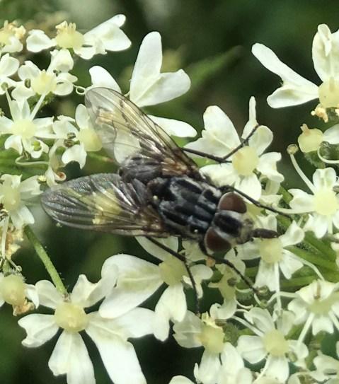 graphomyia maculata