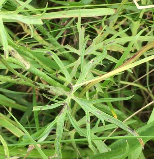 meadow buttercup leaf