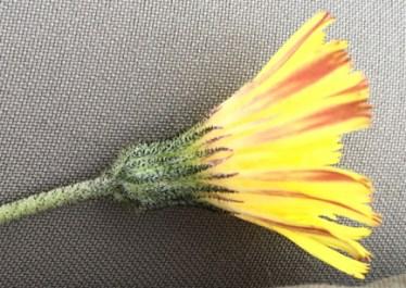 mouse-ear hawkweed flower