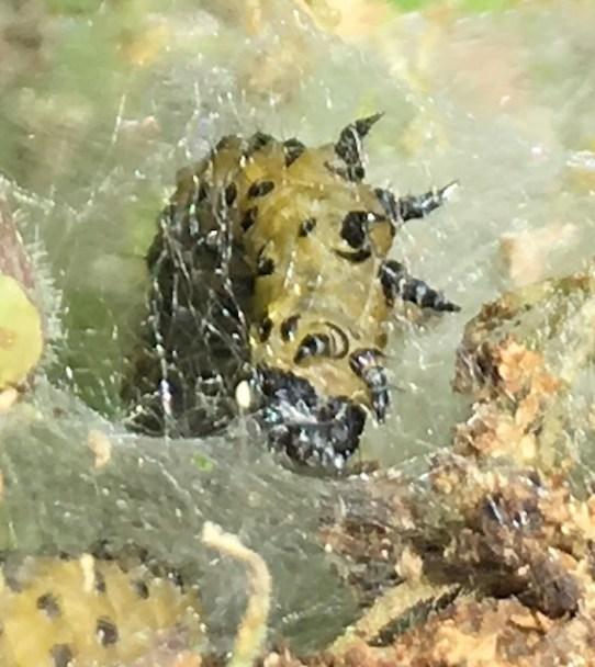 parsnip moth larva