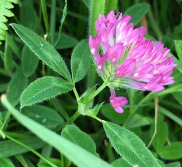 zigzag clover close up