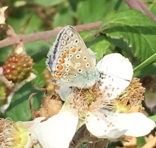 common blue - female underwing