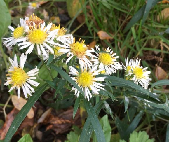 narrow-leaved michaelmas daisies
