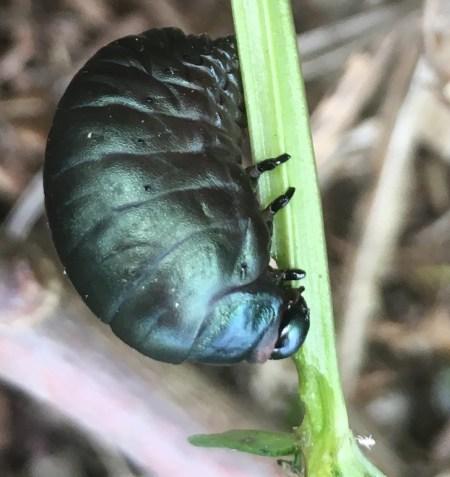 bloody nosed beetle larva 2