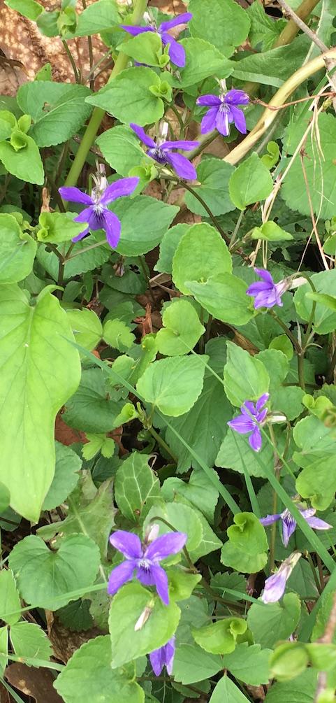 common dog violets