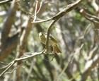 White-plumed Honey-eater