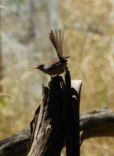Superb Fairy Wren (female)