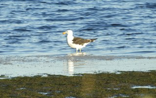 Pacific Black-backed Gull
